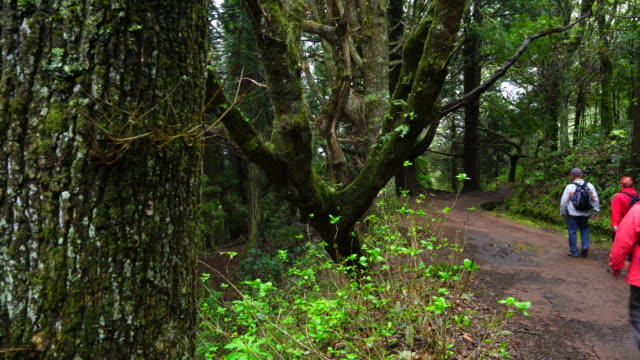 Hiking in a laurel forest of Madeira