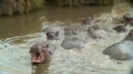 WS ZI CU Hippo in river, yawning / Serengeti, Tanzania