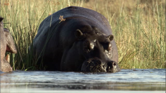 A hippo stands on the edge of a watering hole and opens its massive jaws. Available in HD