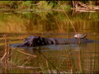 Hippo swims along river with turtle on back, until submerging under water, Botswana