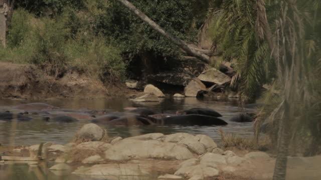 Hippopotami bathe in a watering hole, Tanzania.