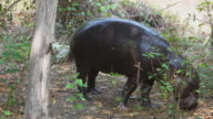 hippopotamus is feeding in the forest.