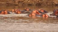 MS Hippos at the lake / Lukuzi, Eastern, Zambia