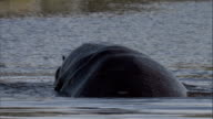Hippos mate in a watering hole. Available in HD.