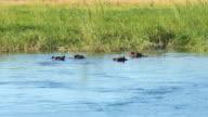 Nijlpaarden zwemmen in de rivier