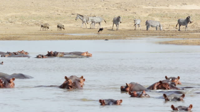 WS Hippos swimming and zebras drinking water from lake / Lukuzi, Eastern, Zambia