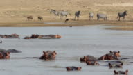 WS Hippos swimming and zebras drinking water from the lake / Lukuzi, Eastern, Zambia