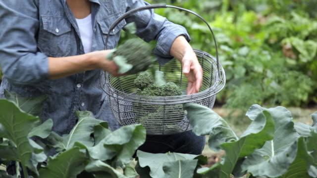 hispanic woman picking organic broccoli in home garden, Richmond, Virginia, USA