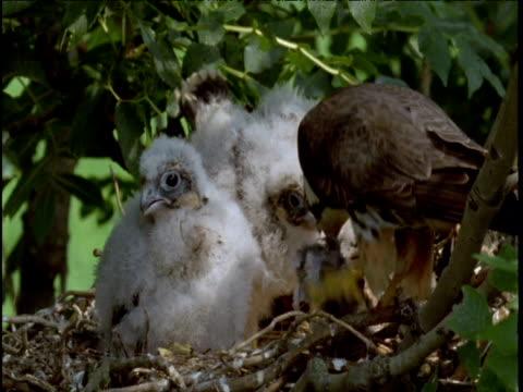 Hobby feeds two chicks in nest