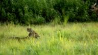 Hog Wild auf Wiese