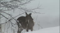 A Hokkaido Sika deer grooms itself on a snowy knoll in Kushiro Shitsugen National Park, Japan.