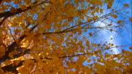 Holland, MichiganWind blowing through maple leaves in fall