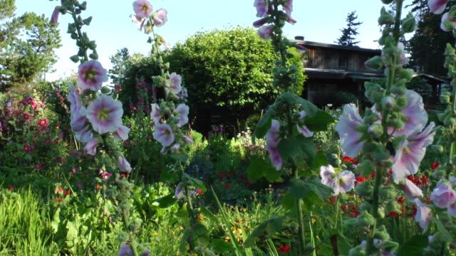 Hollyhocks grow in a garden near a home on Cortes Island, British Columbia.