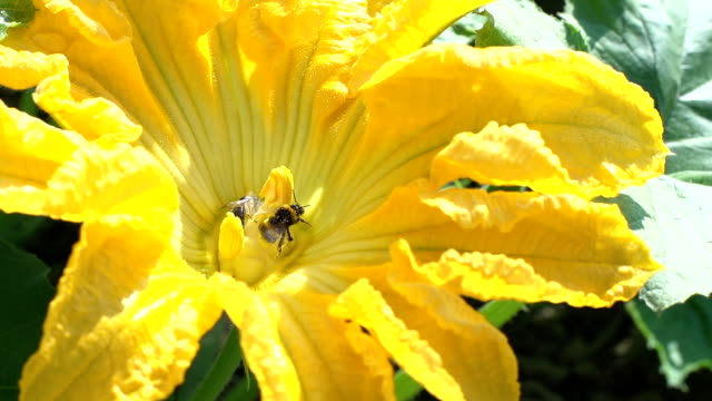 SLO MO Honey Bee And Bumblebee On Flower