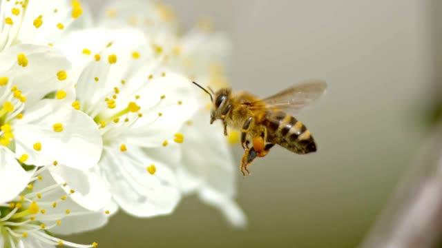 SLO MO TS Honey bee närmar sig en vit blomma och försöker att landa på kronblad