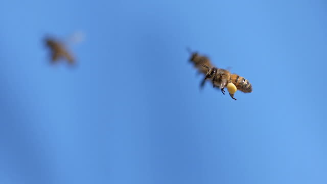 MS SLO MO Honey bee carrying hive with note full pollen baskets and another bees flying in background / Vieux Pont, Normandy, France