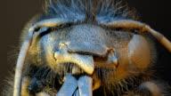 'Honey bee head, SEM'