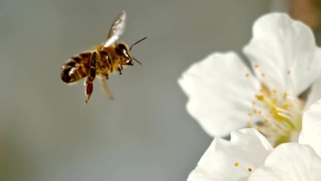 SLO MO TS Honey bee landing on a white blossom