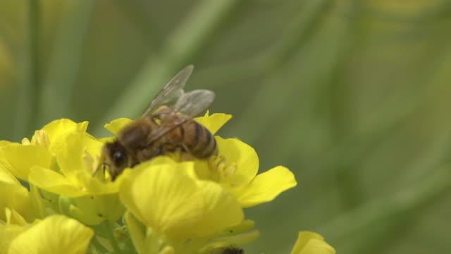 Honey Bee On Field Mustard