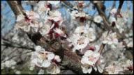 Honey bee pollinating peach (Prunus persica) tree blossom, close up, Ardeche, France