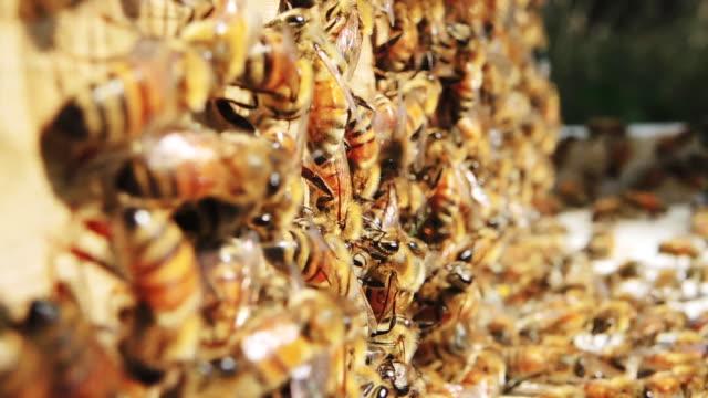 Honey bees at hive, close up