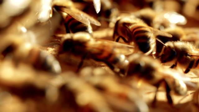 Honey Bees at the entrance