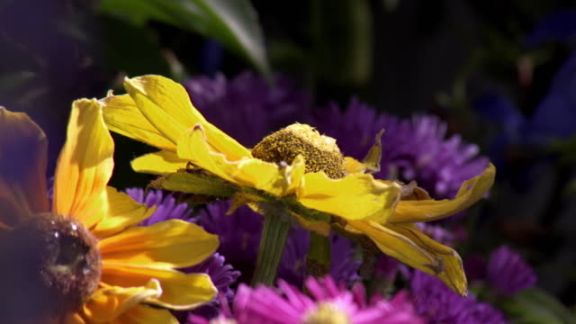 Honey bees, bumblebees and butterflies landing on and flying round yellow and purple flowers in a garden