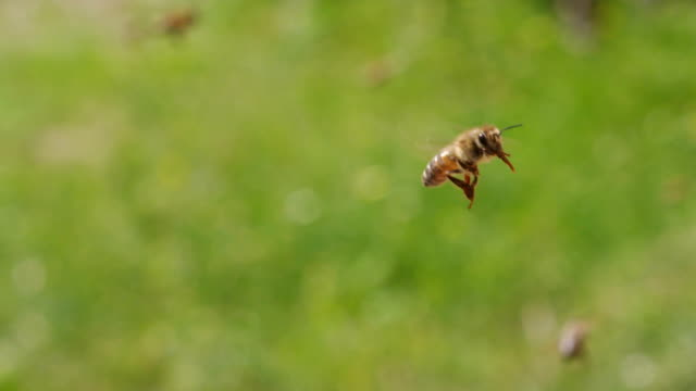 SLOW MOTION: Honey bees flying