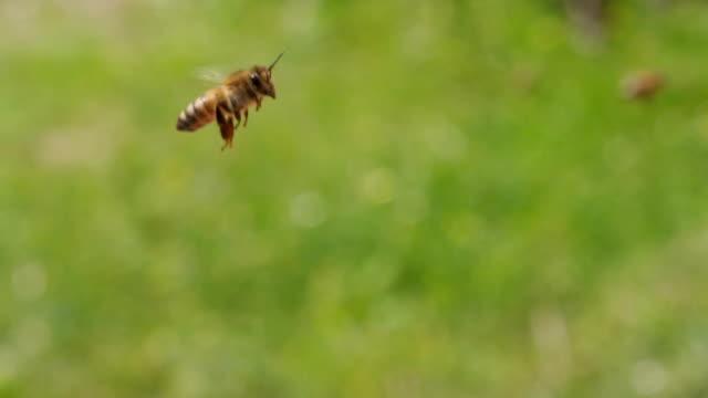 SLOWMOTION: Honungsbin flyger