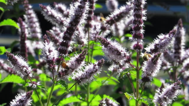 Honey Bees  Pollinating Lavender plants in the sunlight