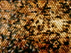 ** MS Honey Bees walking on over comb LIGHT TURNED ON BEHIND COMBworker Honey Bees in silhouette walking on lighted comb ZI CU Bees walking over comb...