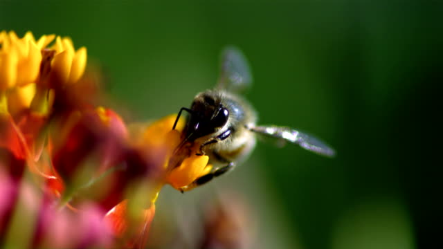 A honeybee collects pollen from a flower and carries it away with its legs. Available in HD.