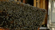 Honeybee colony on a frame of honeycomb