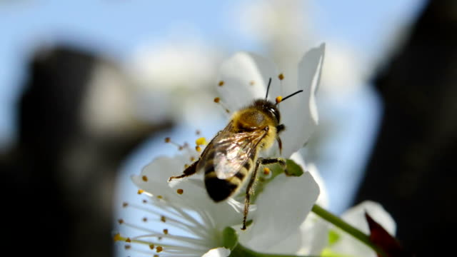 Honeybee over pear blossoms