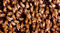 Honeybees in domestic hive