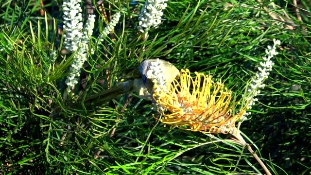 Honeyeater drinking nectar