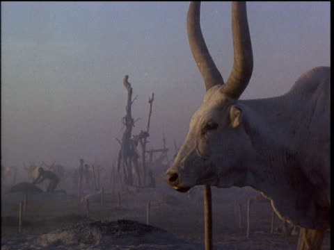 Horned Asiatic cow rubs neck on post then turns towards camera with Dinka tribesman in background at dawn