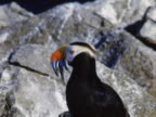 Horned puffin with fish
