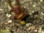 CU Hornet (Vespa crabro) attacking Common Wasp (Vespula vulgaris), England