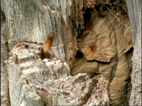 MS Hornets (Vespa crabro) hovering around nest in tree, England