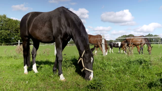 Horse Eating grass on a paddock