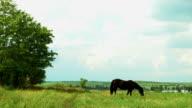 Horse grazes on summer field near tree