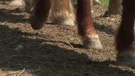 HD: Cavallo zoccoli