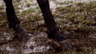 Cavallo pawing terra