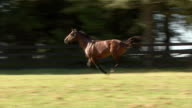 WS TS Horse running on paddock / Summerhill Stud, South Africa