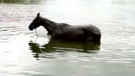 Horses bathe in the river