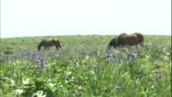 Horses graze near Arctic Iris wildflowers at Ayamegahara Primeval Flower Garden in Akkeshi, Japan.