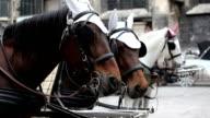 horses of Fiaker, Vienna