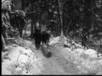 1927 B/W MONTAGE MS Horses pulling logs through forest, Ontario, Canada