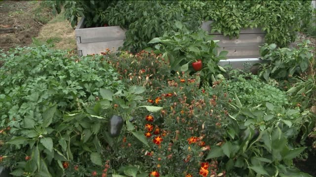 Horticultural Therapy for Inmates at Rikers Island Correctional Facility Peppers and Plants Grown at Rikers Island Garden at Rikers Island on...